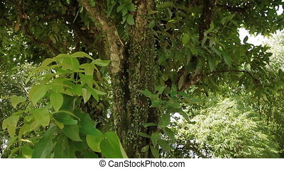 Vines wrap around tree trunk. Nature in Bali, Indonesia.