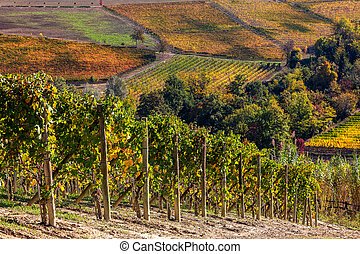 Vineuatds on the hills of Langhe in Northern Italy. - ...