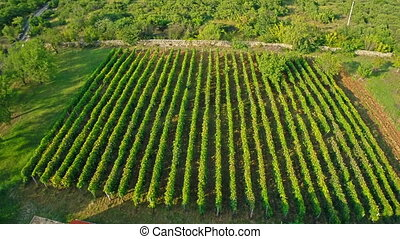 Vineyard aerial circular shoot - Copter aerial view of the...
