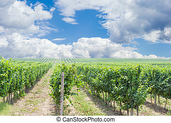 Vineyard against of the sky with clouds