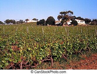Vineyard, Algarve, Portugal.