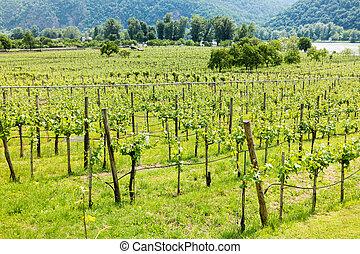 Vineyard and Danube river in Durnstein, Wachau, Austria