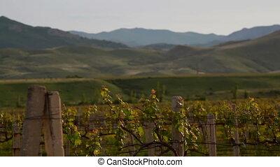 vineyard and hills panorama at evening
