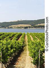 Vineyard and lake in Umbria