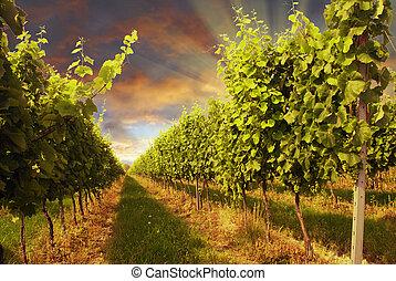 Vineyard and sunset