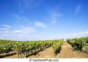 Vineyard at Portugal, Alentejo region