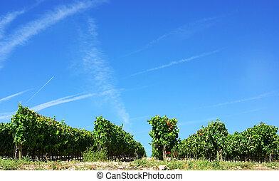 Vineyard at Portugal, Alentejo region.