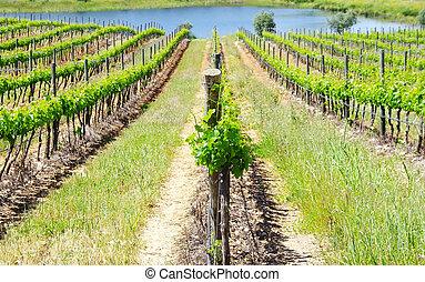 Vineyard at Portugal in Spring time