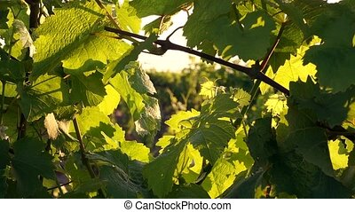 vineyard at summer in Crimea