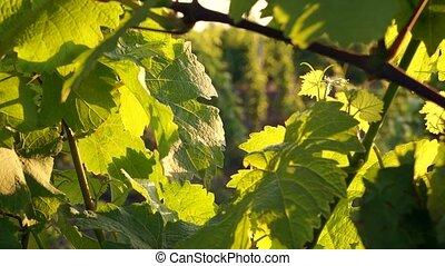 vineyard at summer in Crimea