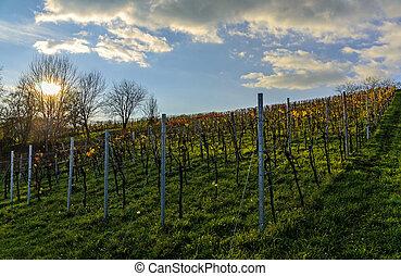 Vineyard at sundown