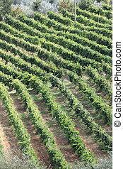 Vineyard before harvest