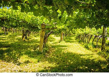 Vineyard - Close up of grapes in a vineyard in Caldaro al ...