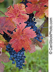 vineyard, Czech Republic