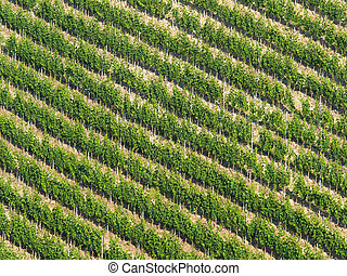 Vineyard diagonal pattern: Rows of grapevine on a steep hill...