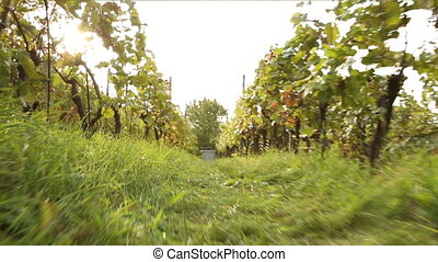 vineyard during the vine harvest