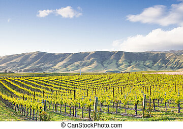 Chardonnay vineyard extends toward the rolling hills of San Luis Obispo County in California