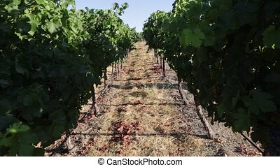 Vineyard field Napa Valley - Vineyard in Napa Valley, San...