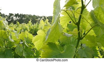 Vineyard Fields at Sunset Vine Lane - Ronin steady cam view...