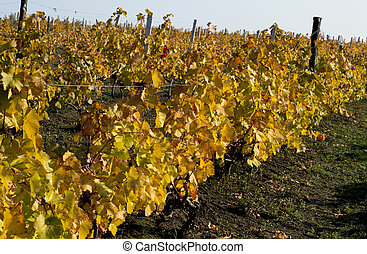 vineyard fragment on a hill slope, gold leaves, fall, a...