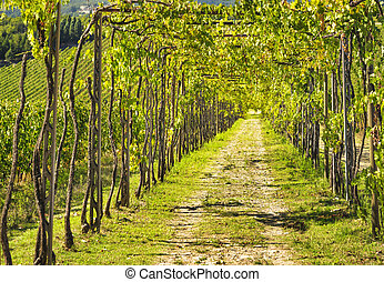 Vineyard grape pergola in Chianti region. Tuscany, Italy Europe.