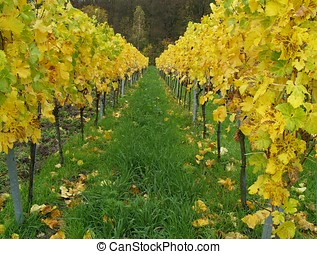 Vineyard Grass - Grass surface in the middle of yellow vines...