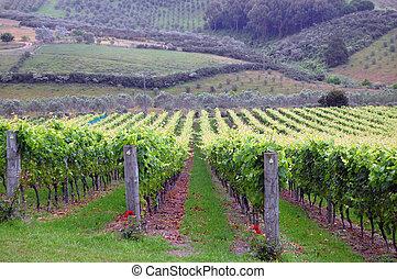 Vineyard green grape