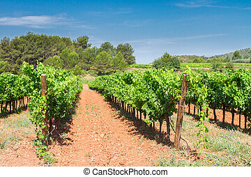 Vineyard green rows