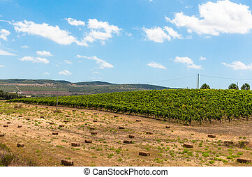 Vineyard in a day of summer