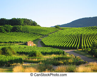 fields of grapewine in Alsace - Route du vin - Rorschwihr - France