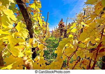 Vineyard in autumn colors view, Kalnik wine region of...