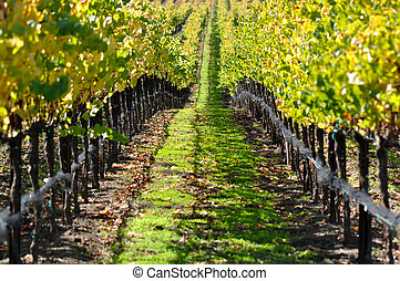 Vineyard in Autumn Fall