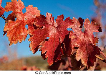 Vineyard in autumn, Lapuebla de Labarca, Alava, Spain