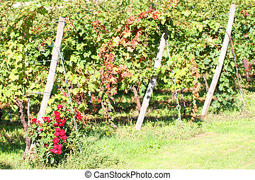 vineyard in autumn with a rose plant at the base - vineyard...
