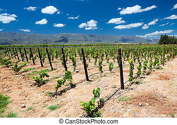 vineyard in Cape Town, South Africa