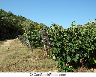 Vineyard in Chianti region. Tuscany