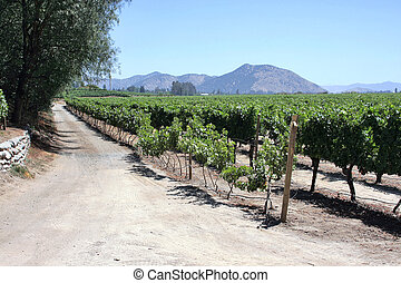 Vineyard in Chile - Field of grapes in Santiago of Chile