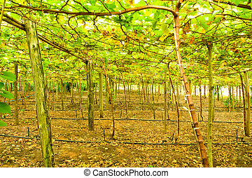 Vineyard in countryside of Thailand