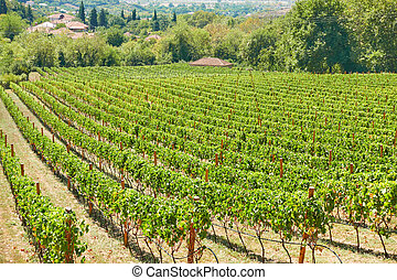 Vineyard in countryside on sunny summer day