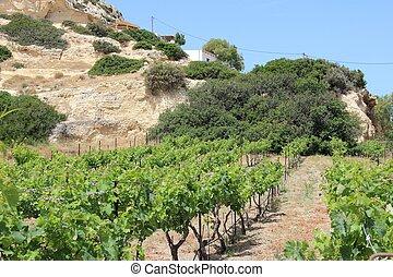 Vineyard in Crete