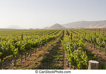 Vineyard in Edna Valley - A sunset in a vineyard in Edna ...