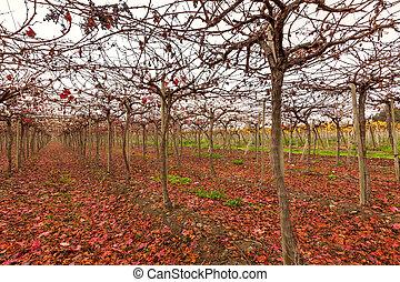 Vineyard in Elqui Valley
