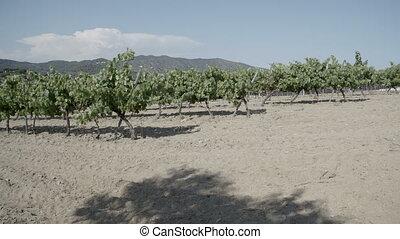 Vineyard in Europe