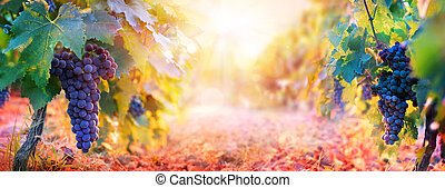 Vineyard In Fall Harvest With Grape