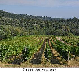 vineyard in garfagnana - foreshortening of hilly vineyard...