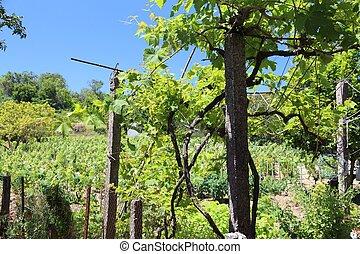 Vineyard in Greece