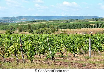 Vineyard in Hungary