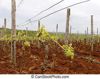 Vineyard in Istria in early spring