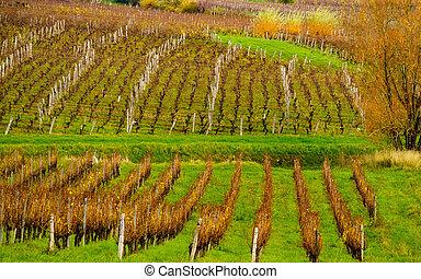 Vineyard in Jura, Arbois, France.