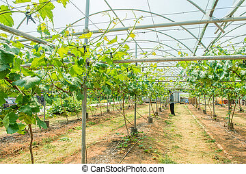 Vineyard in Korea.